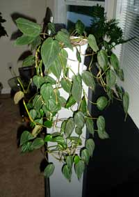 Philodendron scadens