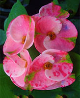 Crown of Thorns (Euphorbia)